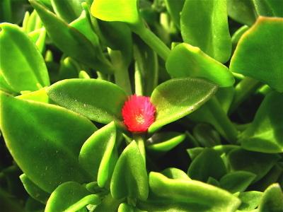 Apple_flower