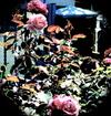 Oinkwhite_roses_1