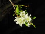 Blossom_spring_07
