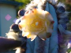 Cactus_flower_080307