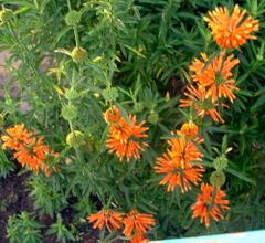 Orangespiky