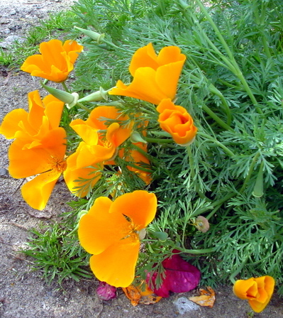 Golden_poppies