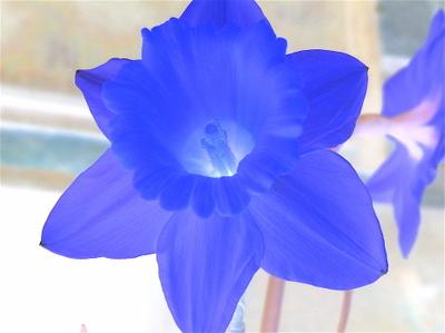 Daffodils_carnaval_2007_24