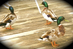 Ducks_at_pawtowmack_792004