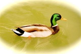 Mallard_duck_052001_nyc