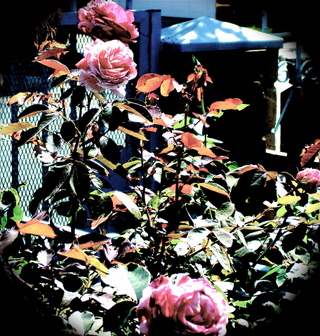 Oinkwhite_roses_2
