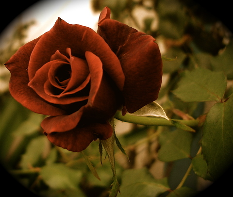 Red_rose_antique